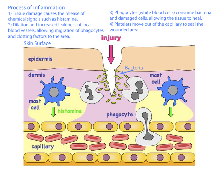 triple response process of inflammation The immune system in the elderly: inflammation is a normal process that may be exacerbated if not properly regulated in response to antigen recognition.