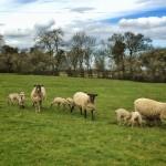 sheep bedfordshire walk